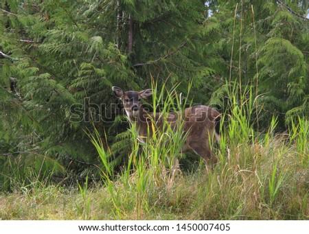 Sitka Black-tailed Deer (odocoileus hemionus sitkensis)                      #1450007405