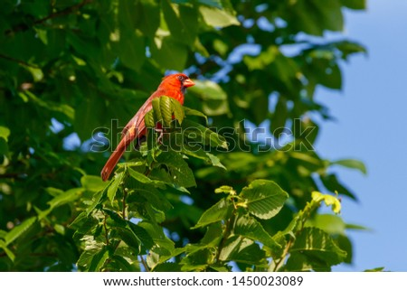 A male Cardinal (cardinalis cardinalis) perched in a tree #1450023089