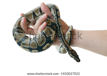 The image of the royal or ball python on the hand of man. Close-up. Isolated.