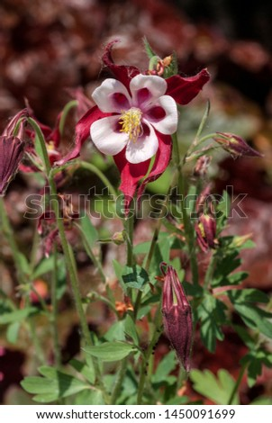 Columbine (Aquilegia hybrida) in garden #1450091699