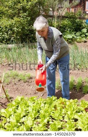 An elderly woman pours a watering-can a bed with sheet lettuce on lot land #145026370