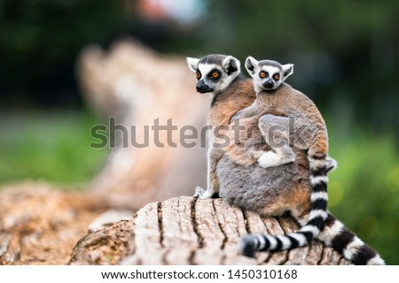 Lemur catta baby on the mother's back/Lemur catta baby and mother/Lemur Catta.