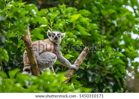 The ring-tailed lemur (Lemur catta) is a large strepsirrhine primate and the most recognized lemur due to its black and white, long ringed tail.