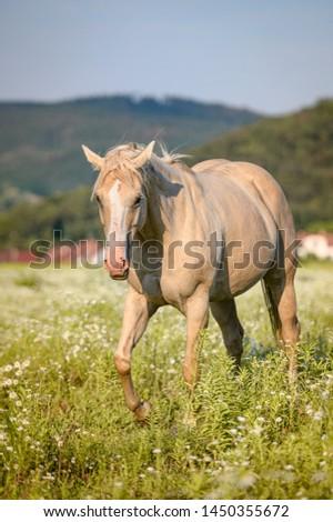 Palomino mare, guarter horse on pasture #1450355672