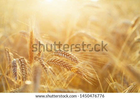 Close up of rye ears, field of rye in a summer sunrise time. Harvesting period #1450476776