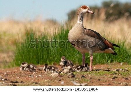 Egyptian goose (Alopochen aegyptiaca) with their young chicks #1450531484