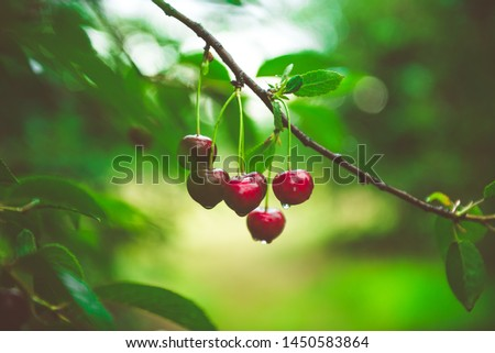Ripe cherries hanging from a cherry tree branch. Water droplets on fruits, cherry orchard after the rain #1450583864