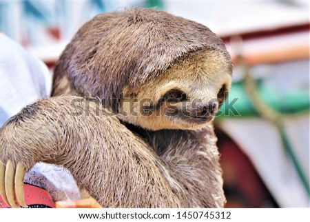 Brown baby sloth in captivity at the Amazonas in Brazil used for pictures of tourists