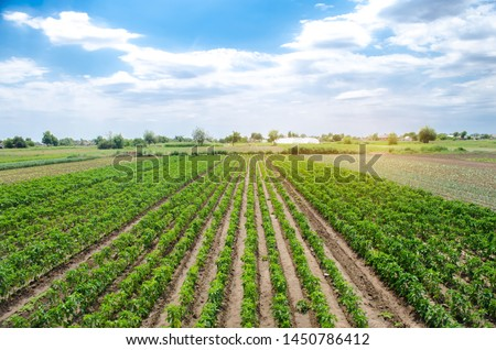 Agriculture land and farming. Plantation of young pepper on a farm on a sunny day. Growing organic vegetables. Eco-friendly products. Agro business. Ukraine, Kherson region. Selective focus #1450786412
