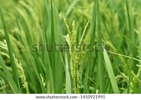 Rice plant and Rice grains in Thailand #1450921991
