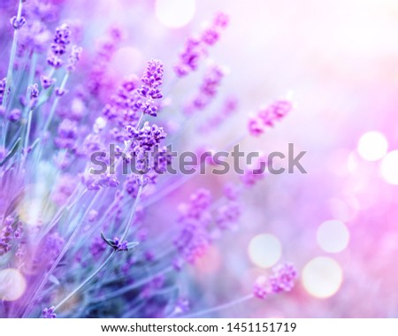 Lavender flower field, Blooming Violet fragrant lavender flowers. Growing Lavender swaying on wind over sunset sky, harvest, perfume ingredient, aromatherapy. Lavender field, Perfume ingredient #1451151719