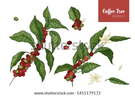 Bundle of botanical drawings of coffea or coffee tree branches with leaves, flowers and ripe fruits isolated on white background. Colorful illustration hand drawn in elegant vintage style. #1451179172