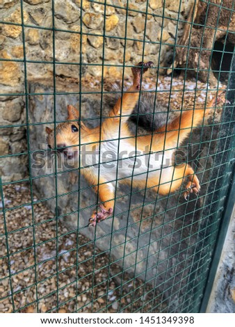 wild red squirrels in a cage #1451349398