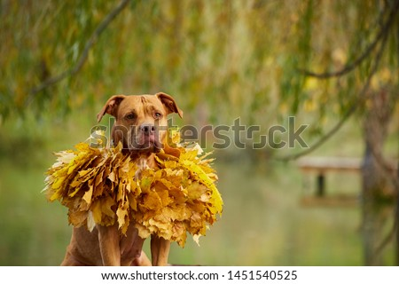 dog pitbull in the autumn leaves #1451540525