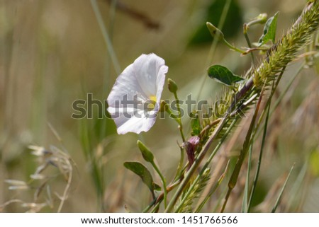 White field bindweed or convolvulus arvensis flower growing in prairie grasses #1451766566