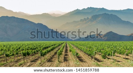 Beautiful plantations of the vineyard against the backdrop of the mountain range. Vineyard plantations, beautiful view of the vineyard rows. #1451859788