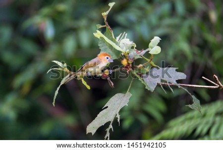 Rufous-headed parrotbill (Psittiparus bakeri),or greater rufous-headed parrotbill, uprisen angle view, side shot, forage on the fruit tree in montane forest, Mae Moui National Park, north of Thailand. #1451942105