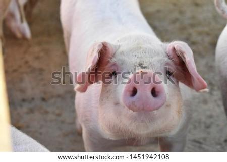 Baby pig close up looking at the camera at Lavalleja, Uruguay. #1451942108
