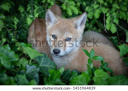 Coyote pups laying atop one another in the green bushes.