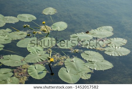 A jug of yellow, water lily, or nymph, on the pond. A popular decoration of artificial ponds and ponds in garden design. Summer, sunny day. #1452017582