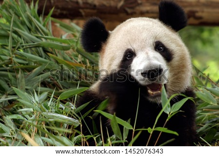 photo of giant panda, the giant panda is Endangered species #1452076343