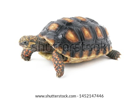 The red-footed tortoise (Chelonoidis carbonarius) is a species of tortoise from northern South America. These medium-sized tortoises generally average 30 cm as adults, but can reach over 40 cm. #1452147446