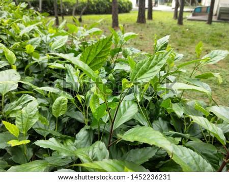 lush leaves in the bush #1452236231