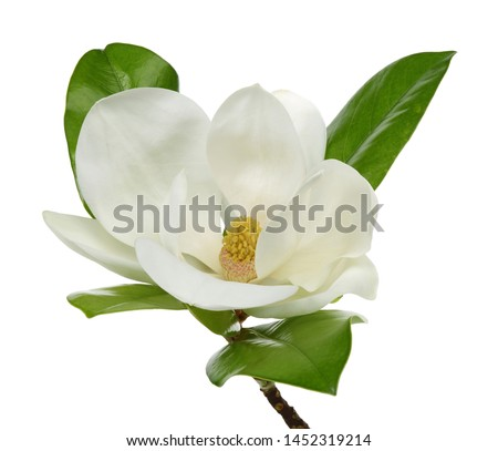 Magnolia flower with leaves on white background