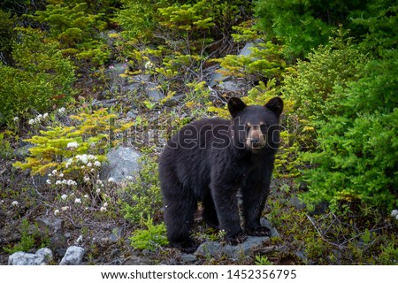 A single wild black bear cub searches for food along a hillside overturning rocks among young evergreen trees. The young bear is only a couple of months old. There are flies on its fur and face. #1452356795