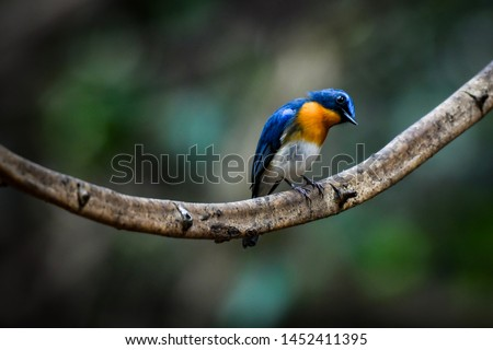Tickell's Blue Flycatcher the male is looking for insects.  Found in Kaeng Krachan National Park, Thailand #1452411395