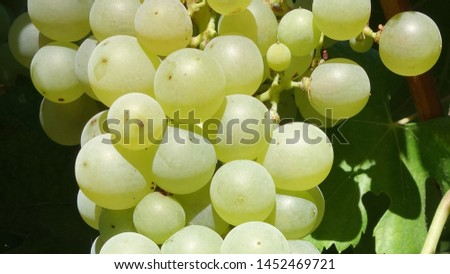 bunch of grapes hang from a vine, Close Up of red wine grapes #1452469721