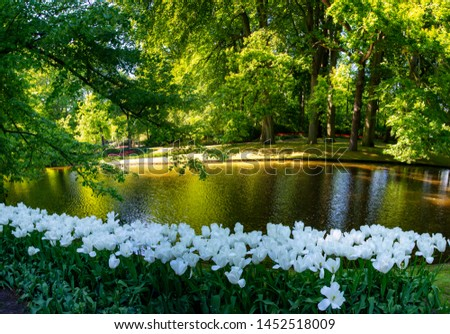 Panorama – pristine white tulips & the glowing woods. These beautiful white tulips form a wonderful foreground in this pic of lovely green woods, with the sun filtering through certain lustrous trees