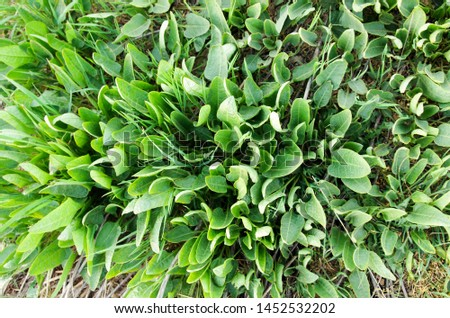 grass top view. Green floral pattern of useful plants. Fresh green leaves for a banner on the theme of nature, vegetarianism, spring, summer, health, freshness and so on. #1452532202