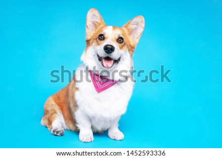 Portrait of a pembroke welsh corgi dog wearing pink bandana tie looking at the camera with mouth open seen from the front on a blue background #1452593336