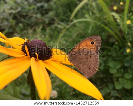 Coenonympha butterfly sits on a yellow Rudbeckia flower #1452712559