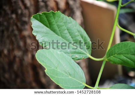 Leaf, in botany, any usually flattened green outgrowth from the stem of a vascular plant. Royalty-Free Stock Photo #1452728108
