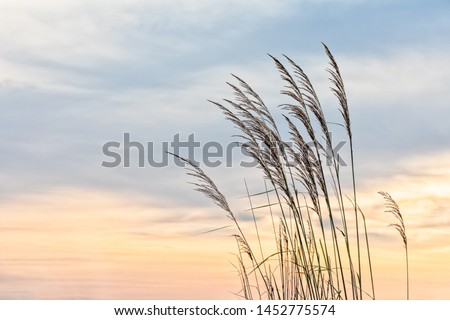 Beauty in nature background no people tranquility concept. Stalks against the sunset dramatic sky, beautiful nature tranquil scene, end of summer season  backgrounds with selective focus copy space. Royalty-Free Stock Photo #1452775574