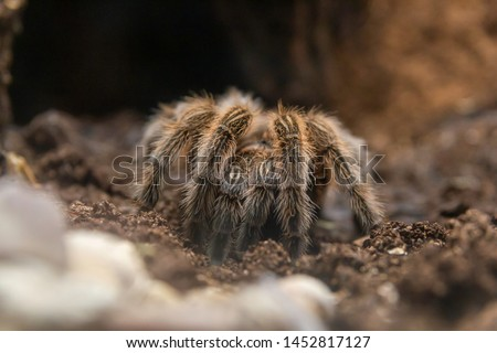 The Chilean rose tarantula, Grammostola rosea, also known as the rose hair tarantula, the Chilean fire tarantula, or the Chilean red-haired tarantula in natural enviroment. Close  up photo.