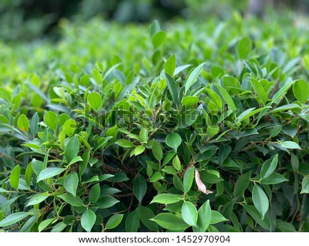 The picture of a green leaf is a bush. #1452970904