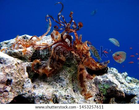 Echinoderms - type Echinoderm, Sea lilies, Spinoza sea lily Royalty-Free Stock Photo #1453257611