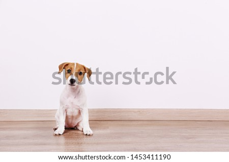 Cute two months old Jack Russel terrier puppy with folded ears. Small adorable doggy with funny fur stains. Close up, copy space, wood textured floor and white wall background. #1453411190
