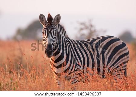 plains zebra, equus quagga,  equus burchellii,  common zebra, Kruger national park Royalty-Free Stock Photo #1453496537