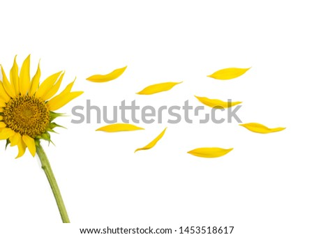 Yellows flowers in the garden,sunflowers, Sunflower isolated on white background #1453518617