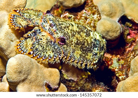 This Sculptured slipper lobster was  shot during a night dive off of Big Island, Hawaii. The are bristly hairs around the edge of its body and its antennae and carapace have a cobblestone texture. #145357072
