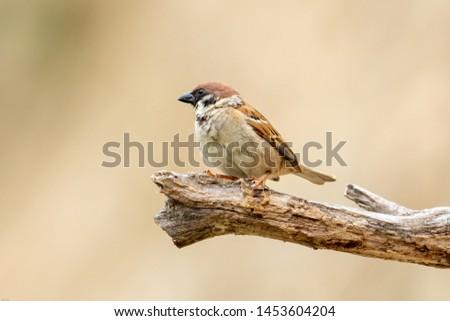 so cuty little sparrow bird on the tree #1453604204