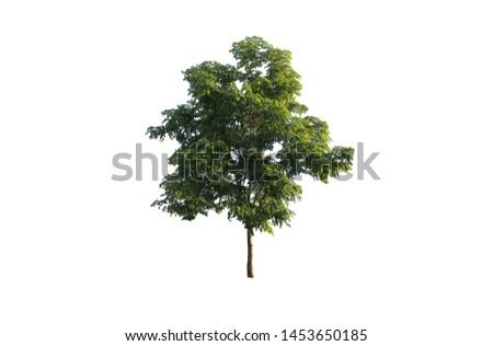isolated Indian Laburnum tree on white background.  #1453650185