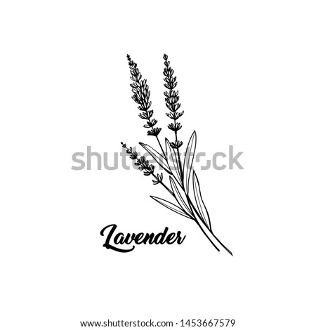 Lavender black and white vector sketch. Fragrant French wildflower with title. Violet summer honey plant sketched outline. Blooming aromatic Provence wild flower engraving. Aromatherapy scent #1453667579