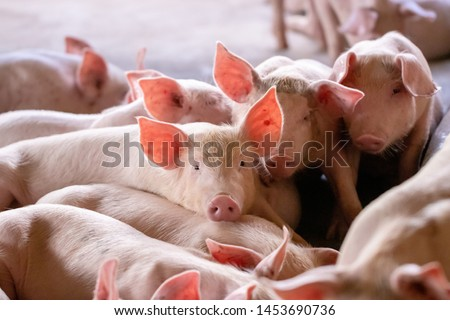 A small piglet in the farm. group of mammal waiting feed. swine in the stall. Popular animals raised around the world for meat consumption and business trading. (Sus scrofa domesticus) #1453690736