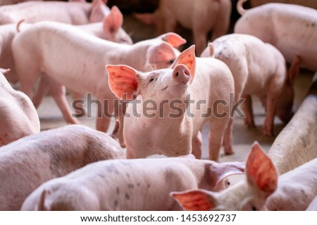 A small piglet in the farm. group of mammal waiting feed. swine in the stall.  Popular animals raised around the world for meat consumption and business trading. (Sus scrofa domesticus) Royalty-Free Stock Photo #1453692737