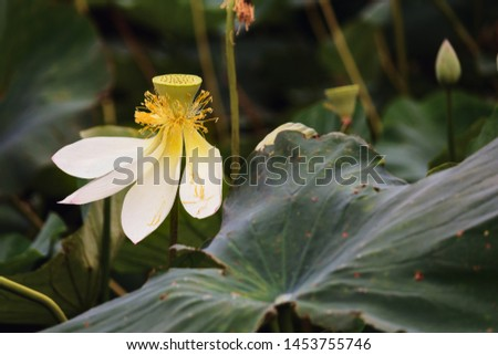 A lonely lotus flower with some fallen leaves on a background of  large green leaves  #1453755746